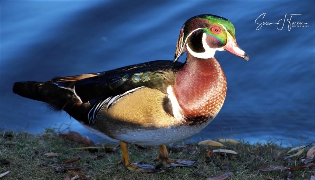 Wood Duck at Santee Lakes