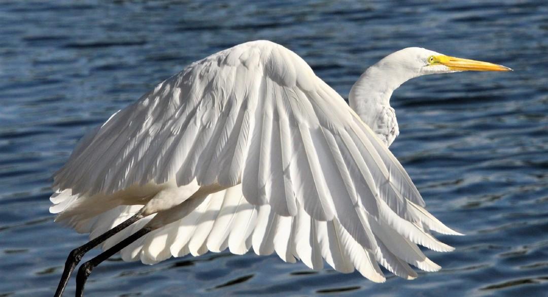 Great White Egret at Santee Lakes