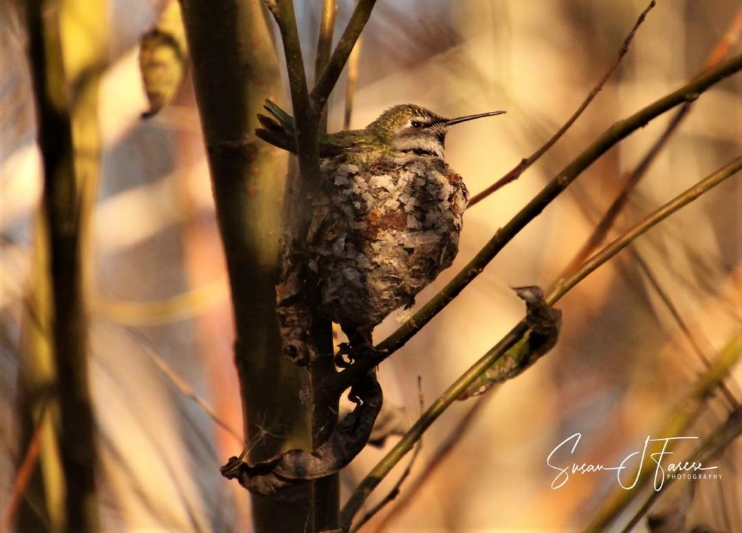 Hummingbird on Nest at San Elijo Lagoon