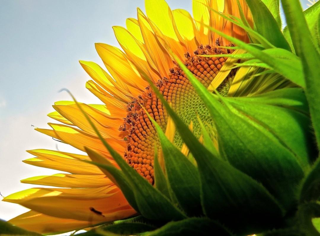 Under the Sunflower