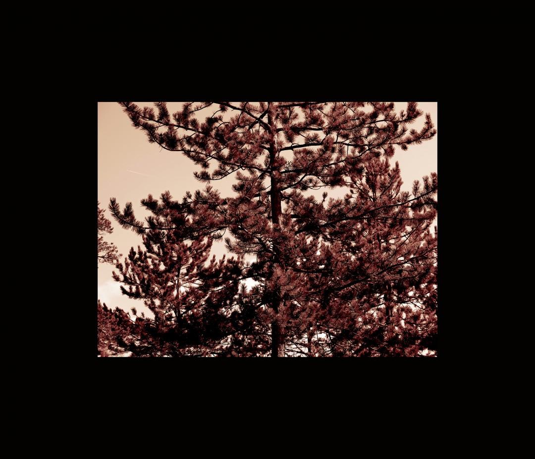 Scots pine. Northern pine.
