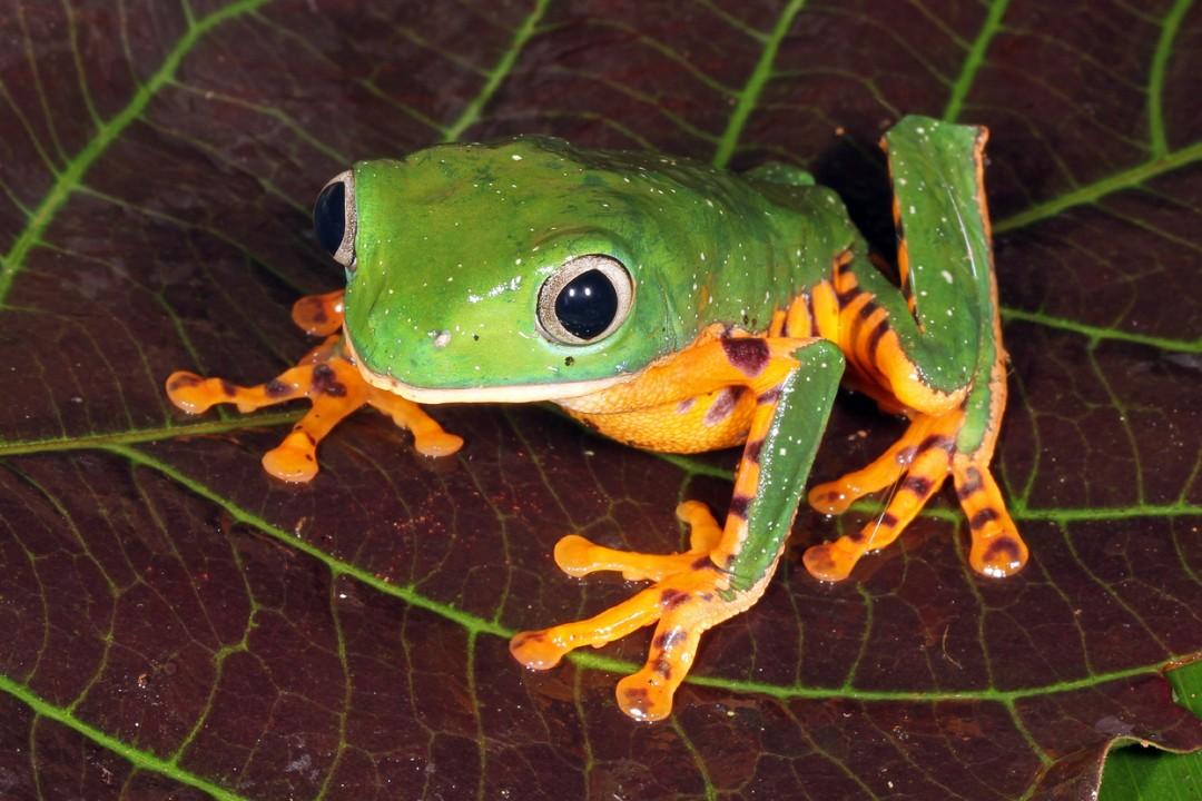 Barred Monkey Frog