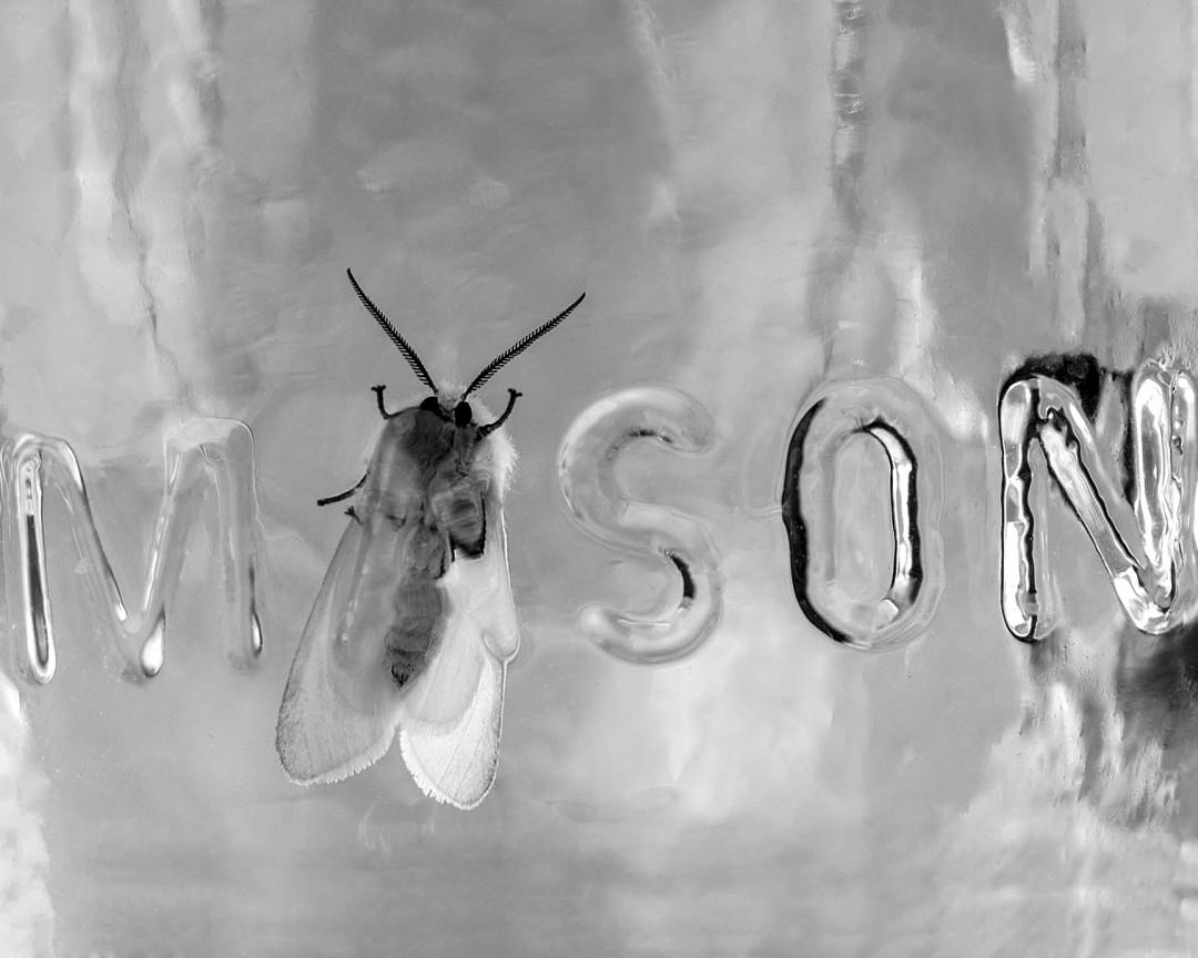 White Fly in a Mason Jar