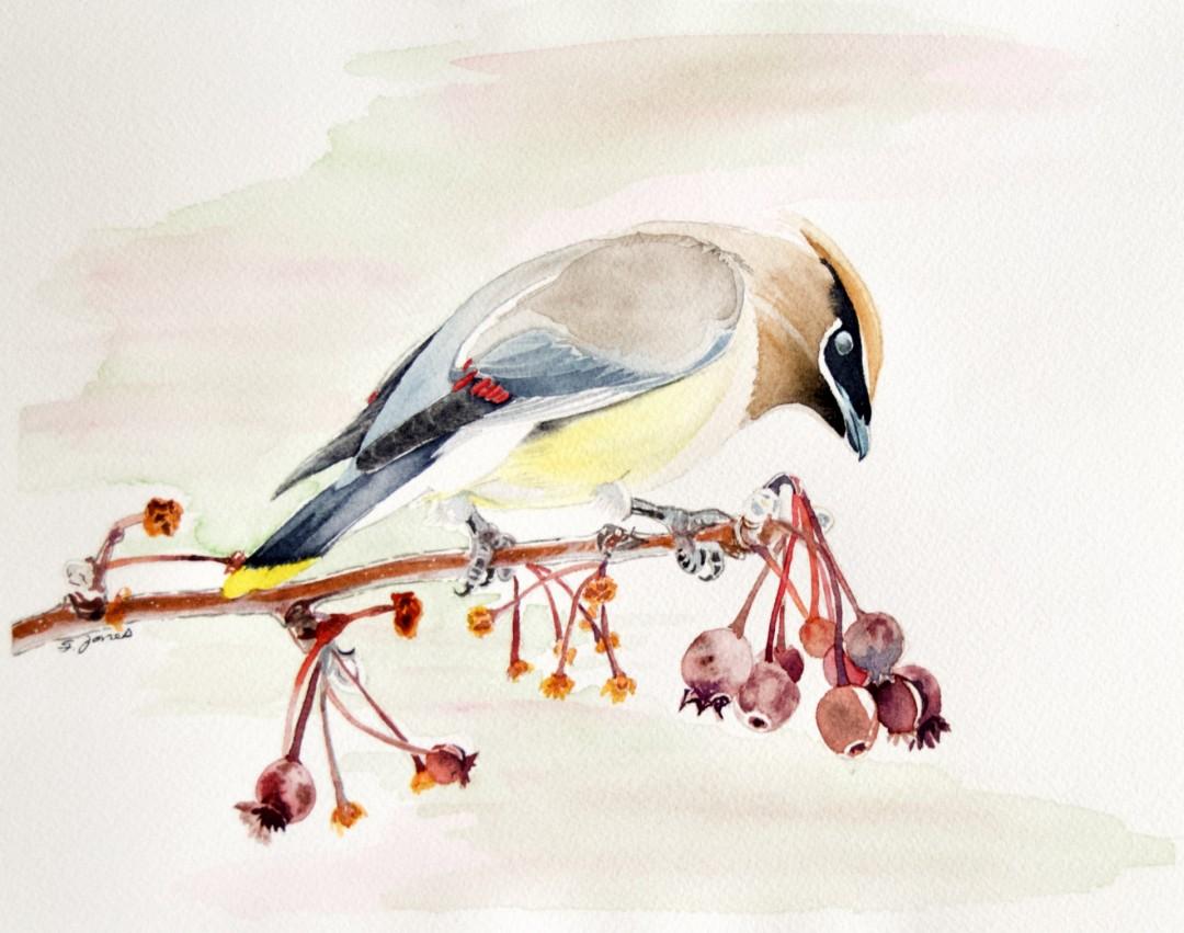 Waxwing In Dogwood - artwork by Sonja Jones: cedar waxwing, bird, dogwood, berries, perch, wildlife, nature Birds, Realism, Paper