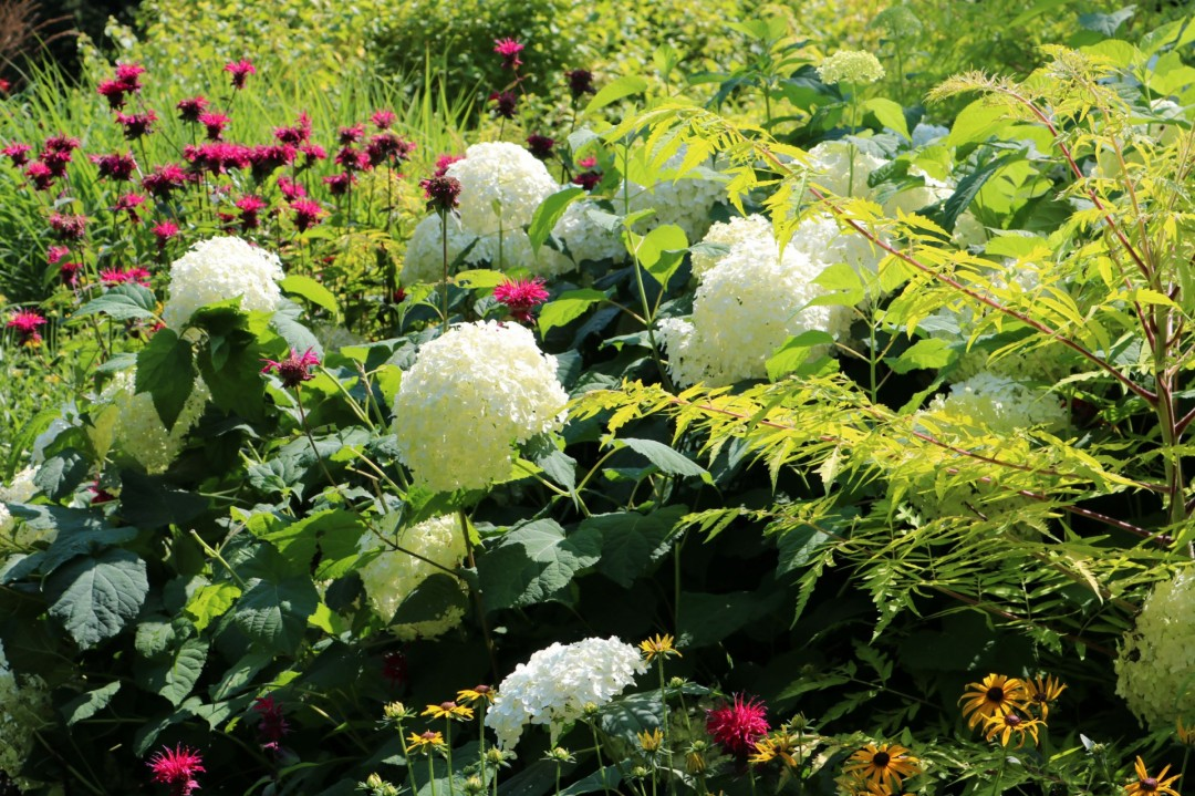 Lovely flowers gardens botanical gardens botanical masshort gardening hydrangea flora lanscape outdoors nature naturephotography