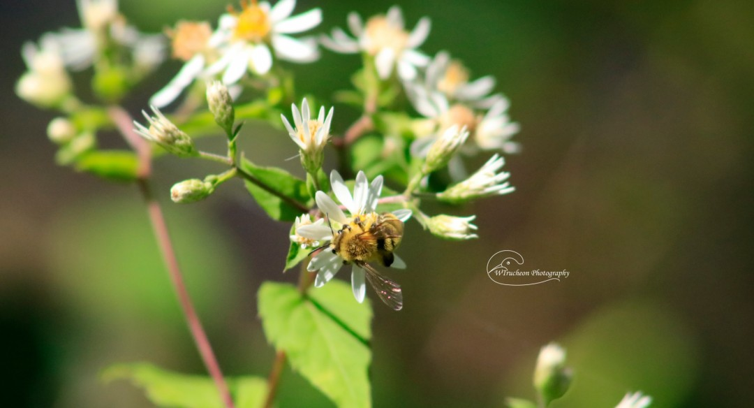 Bee  Happy - artwork by Wendy Trucheon: bee, pollinative, trees, moorestatepark, gardens, nature, walking, outdoors, photography, naturephotography, pollination, nativeplants Nature, Realism, Photography Digital, Paper