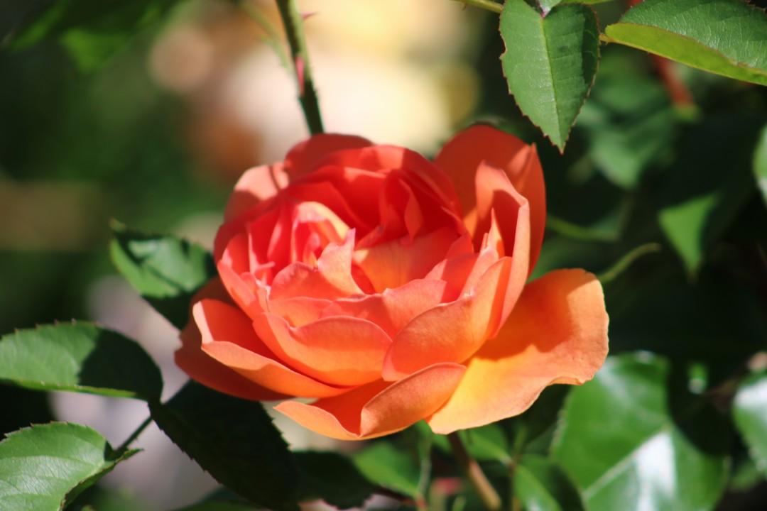 Love - artwork by Wendy Trucheon: rose, orange flower, rose garden, beauty, outdoors, happiness, rose garden CT, flowers, gardens, flora, nature, naturephotography Nature, Realism, Photography Digital, Paper