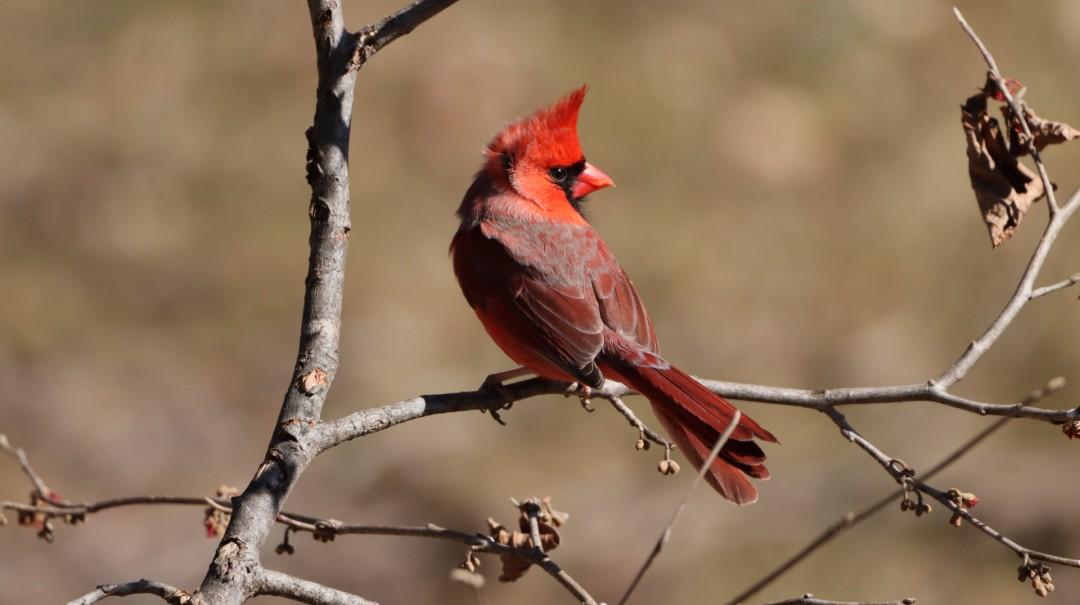Blowing in the Wind - artwork by Wendy Trucheon: cardinal, birds, nature, wildlife, birdlover, naturephotography Birds,
