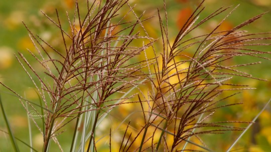 Tall Grass in the Fall