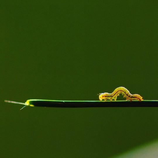 Teenie Weenie Inch Worm