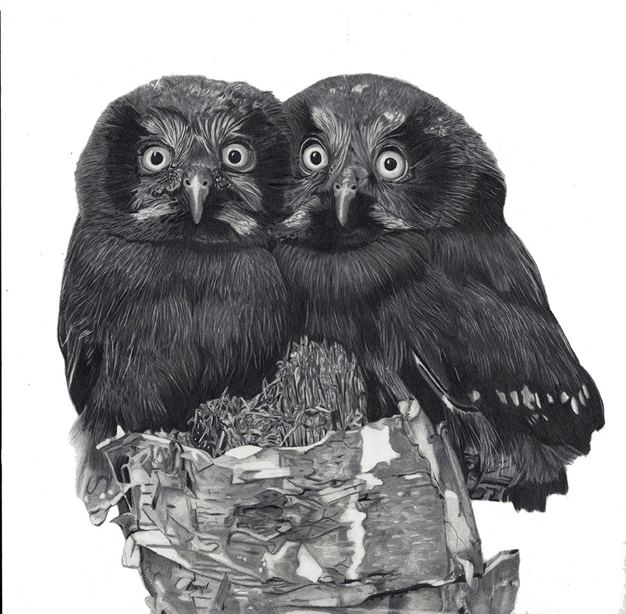 Young Boreal Owlettes  - artwork by Greg Paulson:  Birds, Realism, Pencil/Colored Pencil, Paper