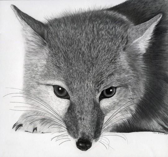 Northern Swift Fox