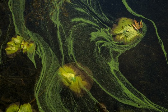 Lily Pads and Algae