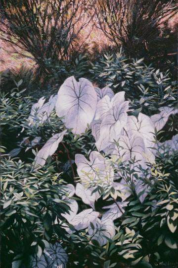 White Calladiums