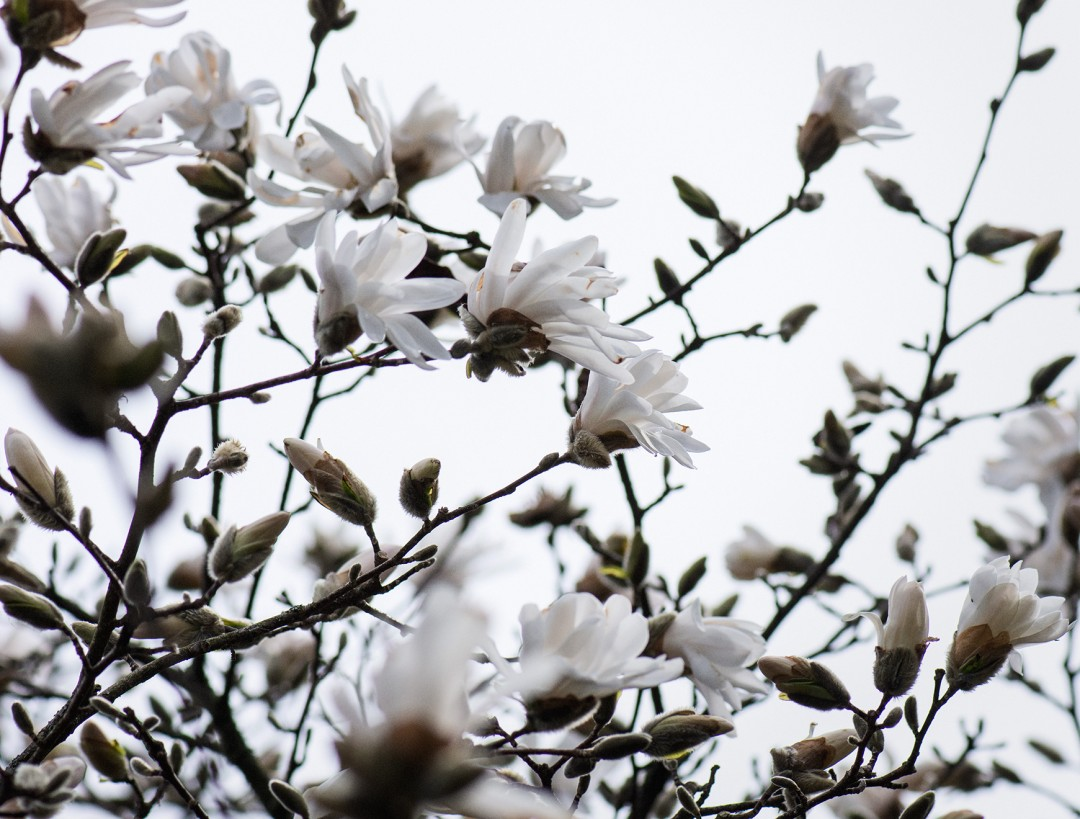 Magnolia Blossoms - artwork by Krista Muller: white, neutral, macro, flower, calming Botanical, Realism, Photography Digital, Archival Ink Jet