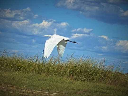 Egret Plum Island