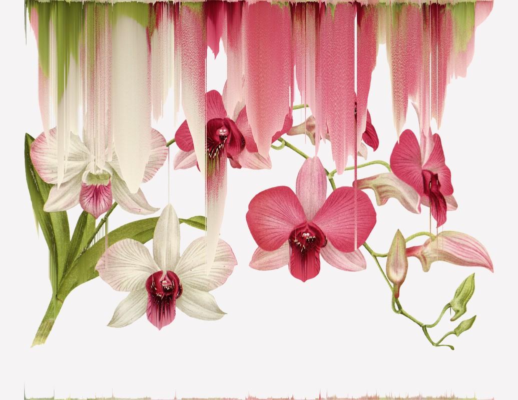 Artwork – Dendrobium Bigibbum, var Phalaenopsis, var.033, 2020