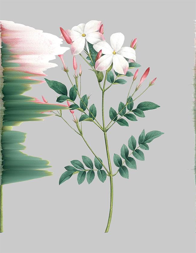 Artwork – Jasminum Grandiflorum, var. 051, 2020