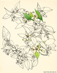 Pen & Ink Flowers by Mabel Minnich Miller