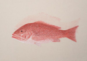 Red Snapper Ghost