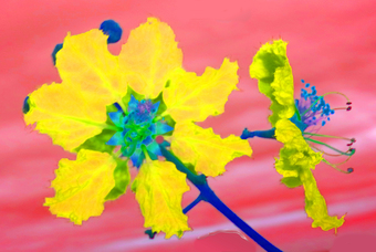 TWO YELLOW FLOWERS IN CONVERSATION, 70 x 104 CM