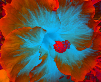 HIBISCUS IN MOTION, (ORANGE), 120 X 148 CM