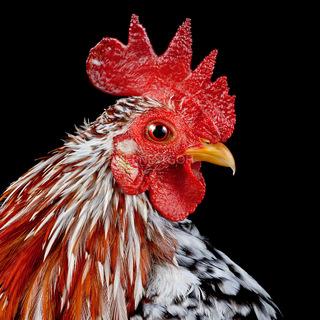 Cocks Headshots 009