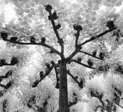 Eywa Tree