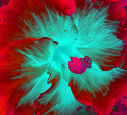 HIBISCUS IN MOTION, (RED), 120 X148 CM