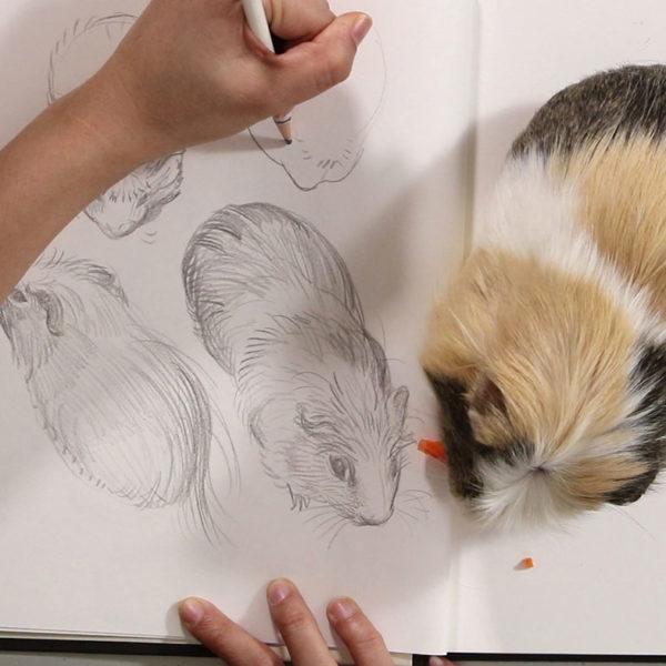 Drawing Gesture Drawings of Guinea Pigs