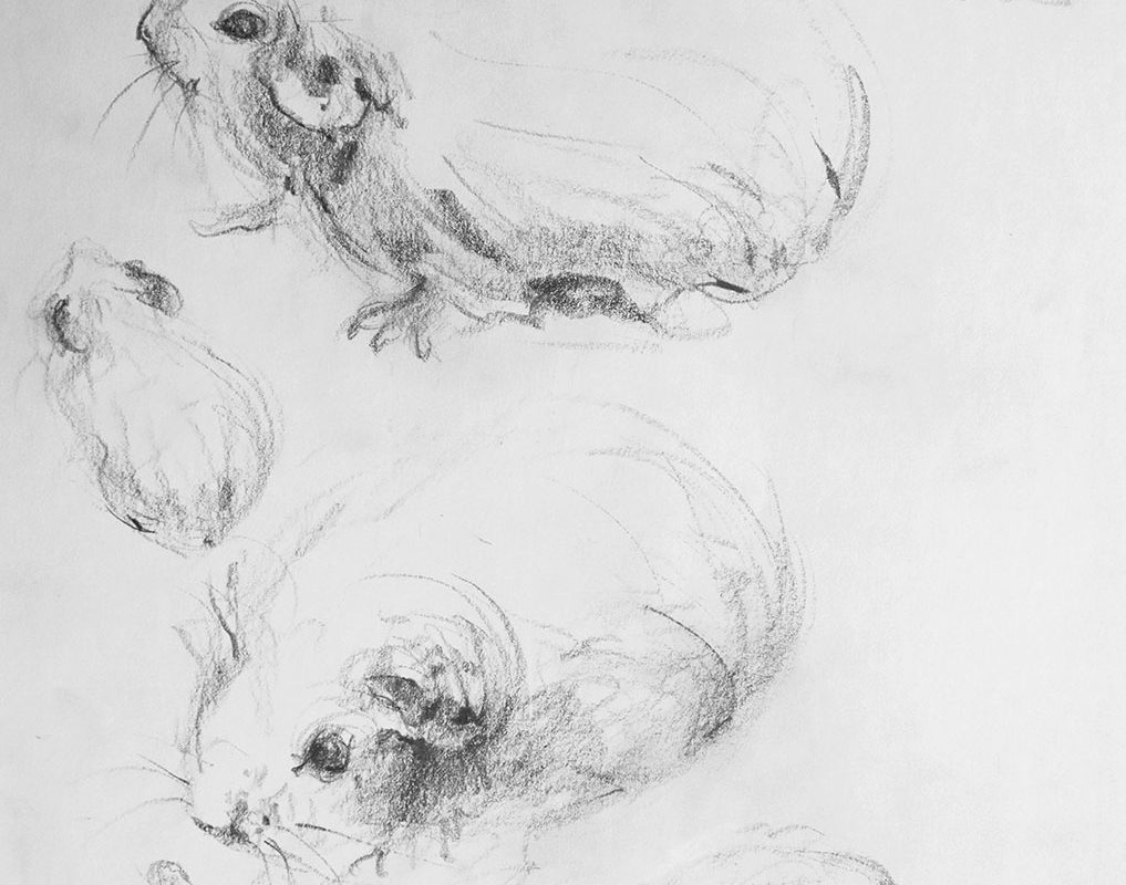 Pencil Drawing, Guinea Pigs