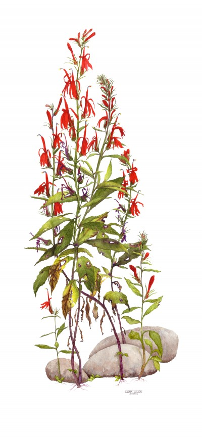 Cardinal Flowers by Andrea Wilson