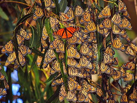 Cluster of Monarch Butterflies