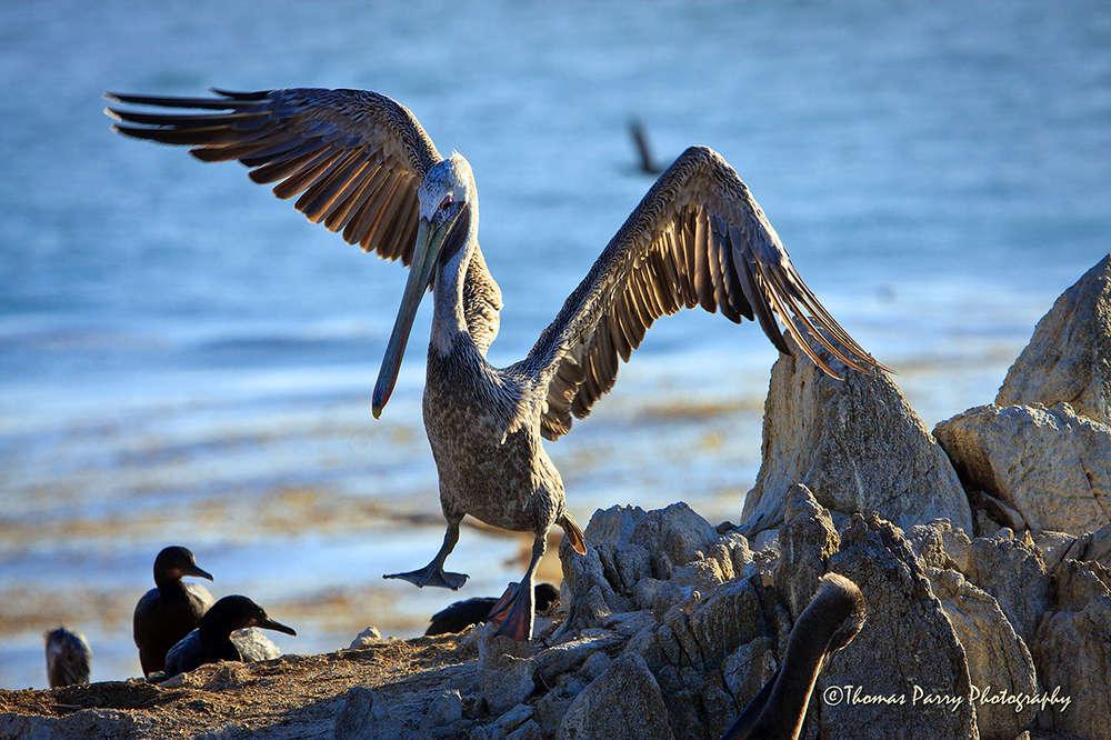Pelican in Fight