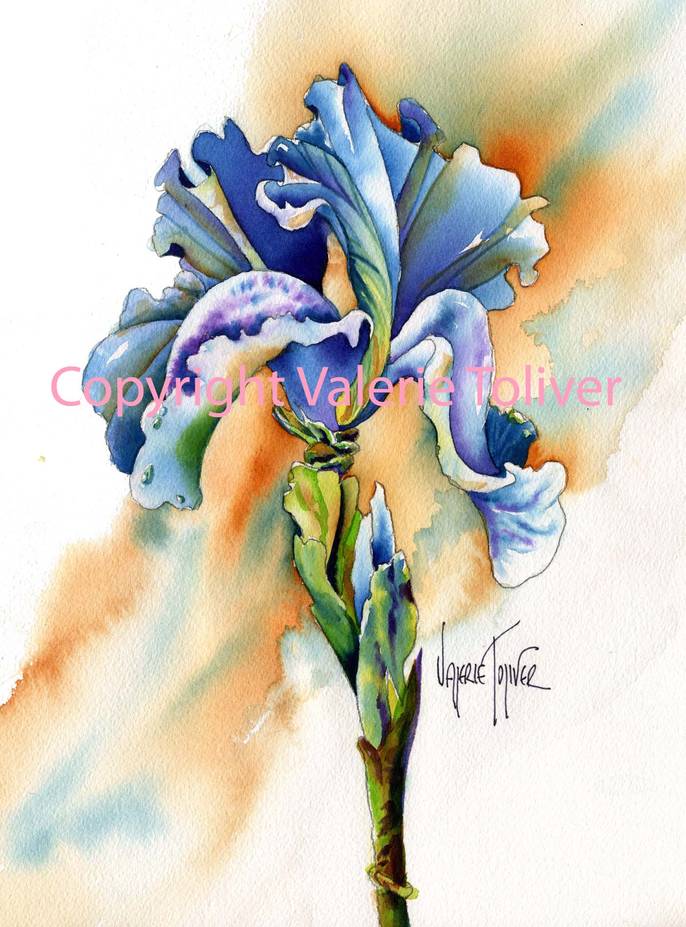 Bearded Iris Watercolor Painting by Valerie Toliver