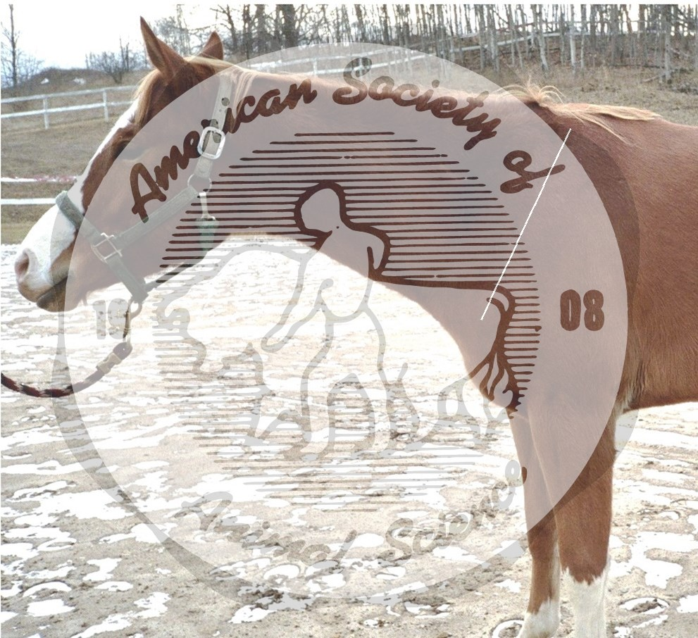 This horse's short, steep (about 65 degrees from horizontal) shoulder is undesirable.  Ideally, the angle of the shoulder should be about 45 or 50 degrees.  Horses with steep shoulders usually have a shorter stride.  They also have a rough ride because the steep shoulder reduces the amount of shock absorbed when the horse moves. The angle of the shoulder is measured from the point of shoulder to the mid-point of the withers, approximated by the line superimposed on this image.  It is easily determined by palpating the bones of the shoulder.