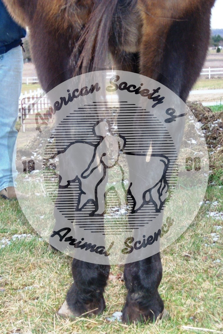This horse is coarse-boned, with thick legs.   Although coarse-boned horses may be acceptable for some disciplines, they are undesirable for competition in many breeds.