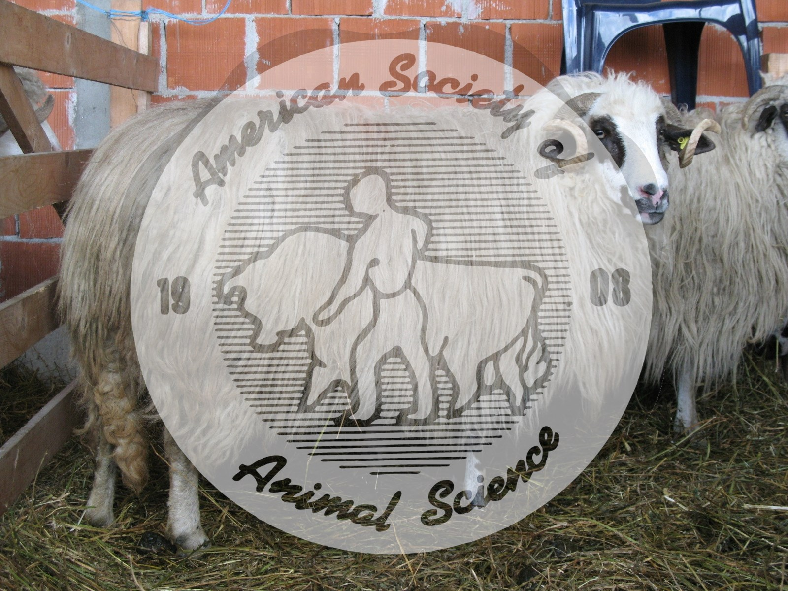 The Tsurcana breed has evolved since prehistoric times, principally in the Carpathian Mountains.  Constituting the principal breed in Romania, they are used for milk, meat and coarse wool often used for oriental carpets.  Mature rams average about 70 kg bodyweight; mature ewes nearly 50 kg; lambs about 3.5 kg at birth and 30 kg at 150 days of age.  All rams and half of ewes are horned.  NAL # 5142 illustrates a Tsurcana ram.  The Image Gallery home page shows a link to Breeds of Livestock including sheep.
