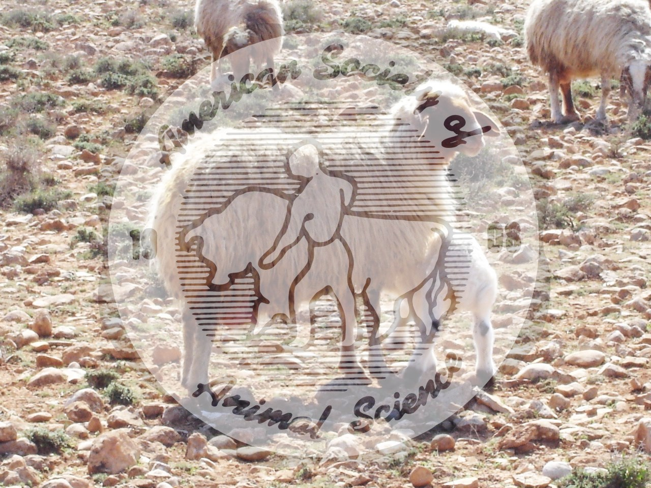 The Awassi, the most common breed of sheep in the Middle East, is a fat-tailed multi-purpose breed used for meat, milk and wool.  Rams are horned, but ewes usually are polled.  Their head and legs are usually white to brown, sometimes including black multi-coloring.  The Awassi evolved over centuries for hardiness, disease resistance and ability to survive in hot and dry environments typical of much of the Middle East.  Recently, they have been selected for milk production.  The fleece usually is used for carpet.  This ewe and lamb are typical of the Awasii in the Middle East, and the background in this photo typifies the harsh environment the breed has adapted to.  NAL #5164 and #5166 also illustrate Awassi sheep, and the Image Gallery home page shows a link to Breeds of Livestock including Awassi sheep.