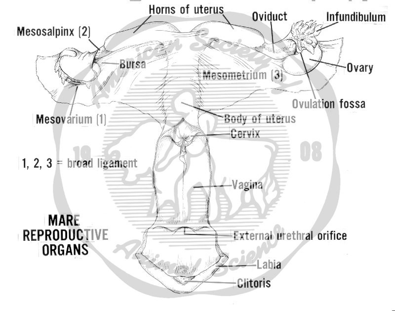This diagram of the mare reproductive tract depicts the Ovary, Ovulation fossa, Oviduct, Uterus, Cervix, Vagina, External urethral orifice, Labia, Clitoris, Broad Ligament, Mesometrium, Mesosalpinx and Mesovarium.  The upper portion of the vagina is left off to allow the protrusion of the cervix into the vagina and the external urethral orifice to be seen.