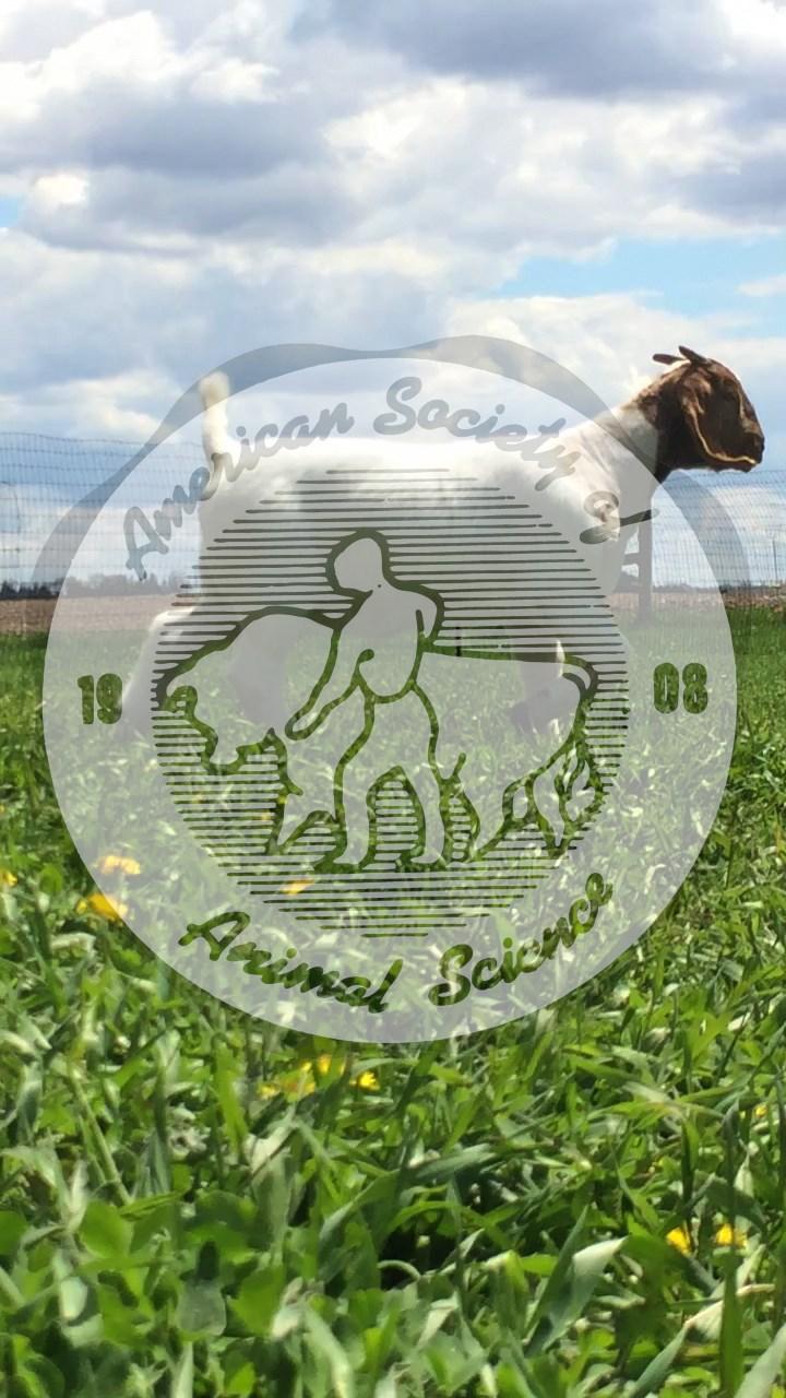 Boer meat goat (Capra aegagrus hircus)
