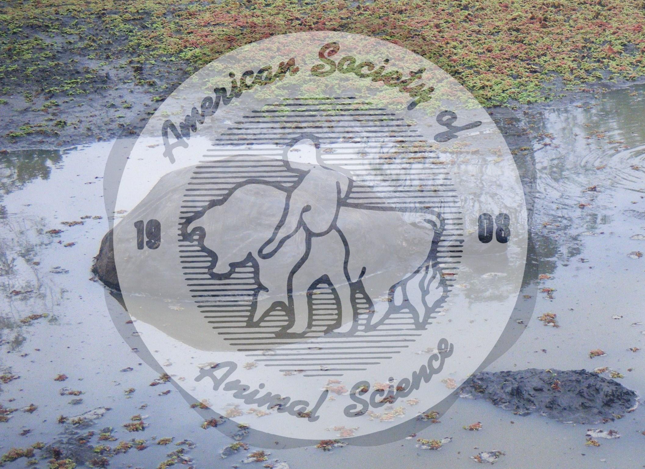 Giant tortoise (Geochelone nigra) wallowing in freshwater pool in Rancho Primicias Tortoise Reserve, Santa Cruz island, Galapagos Archipelago. Tortoises use these mud wallows to keep cool.