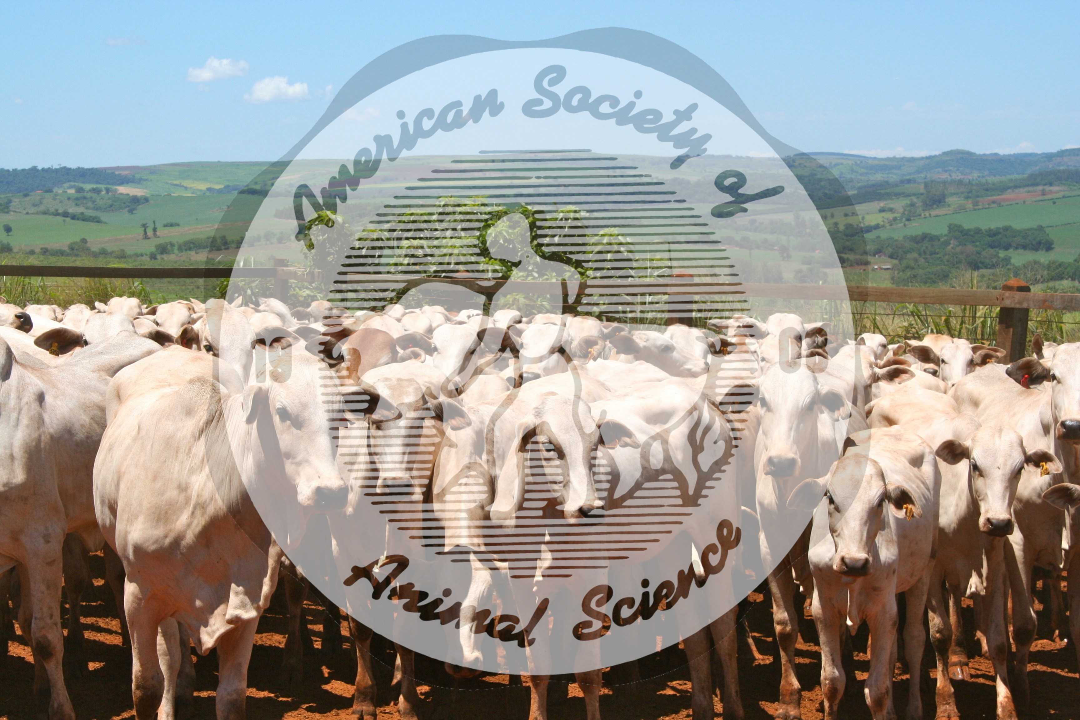 A group of Nelore yearling heifers.  Nelore is a breed of Bos indicus (Zebu).  This picture was taken in Brazil, who is the largest breeder of Nelore cattle.