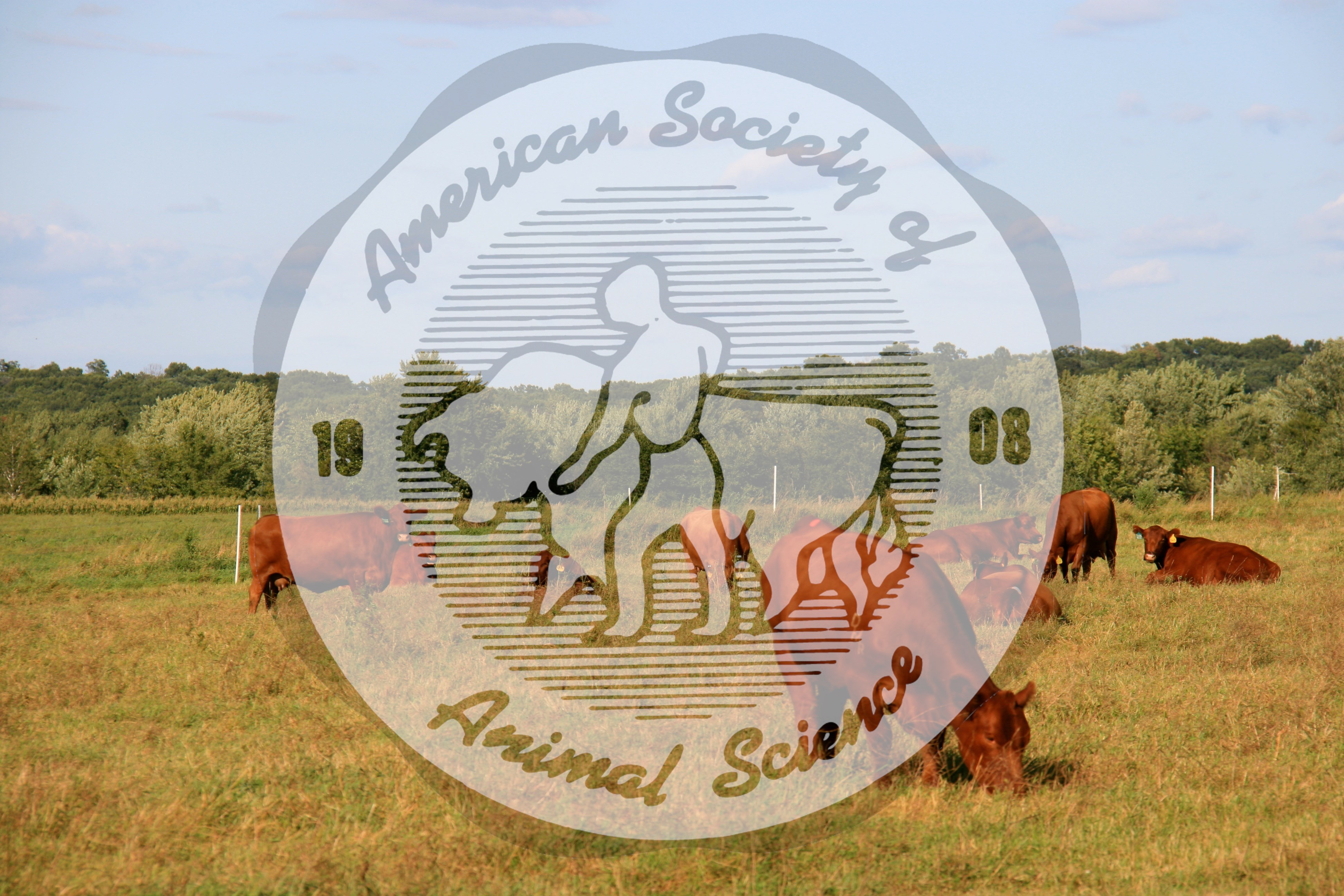 A herd of purebred Red Angus cows grazing a pasture.   Red Angus is one of the top ten breeds in registrations in the United States.  In the United States, Red Angus is a separate breed association than Black Angus whereas in other countries these breeds are registered within the same breed association.