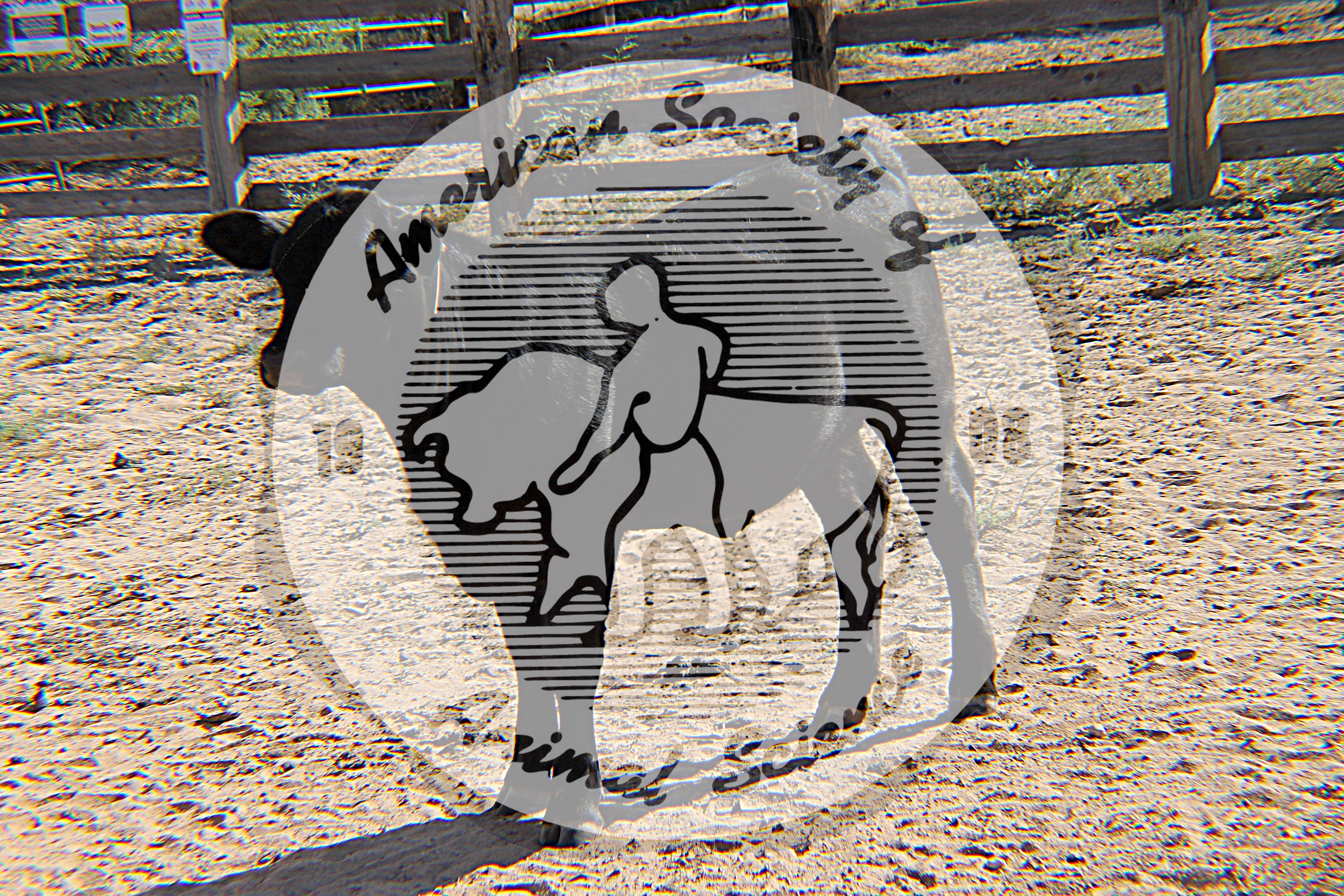 A black Brangus calf standing in a pen in at New Mexico State University's Chihuahuan Desert Rangeland Research Center in Las Cruces, New Mexico. Brangus are a beef cattle breed consisting of five-eighths Angus and three-eighths Brahman genetics.