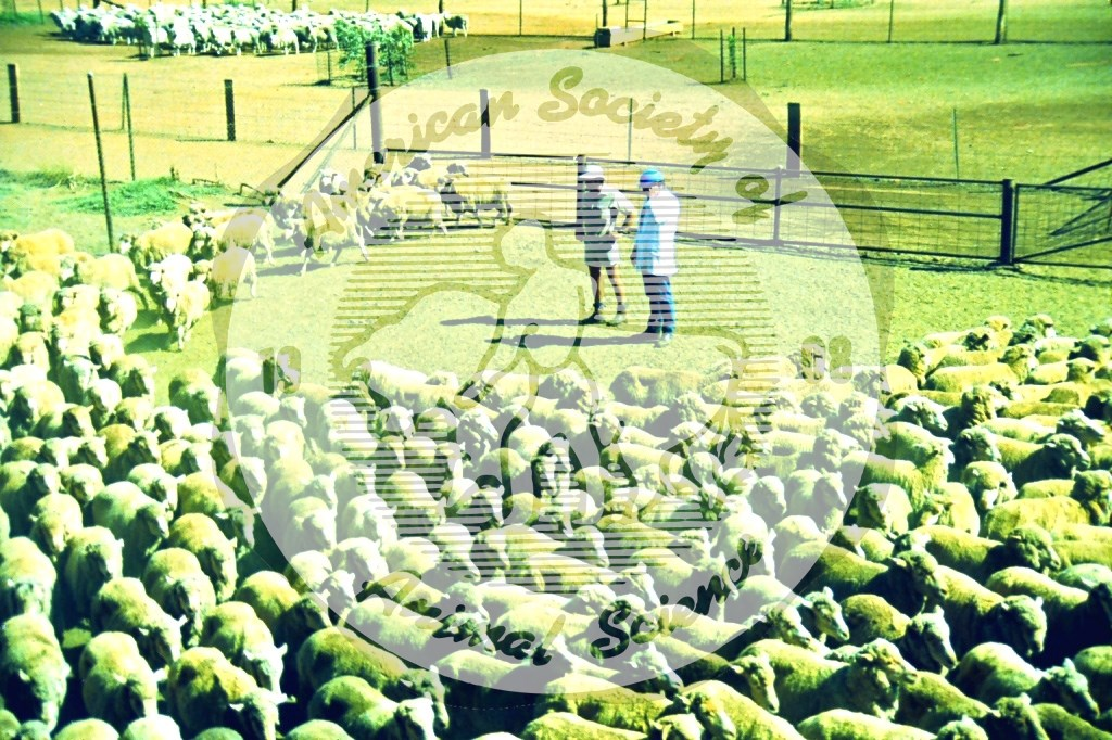 This image illustrates the flight zone for a flock of sheep. The sheep circled around the people, remaining at a safe distance. The size of the flight zone depends upon genetics, and it is conditioned by prior experience.