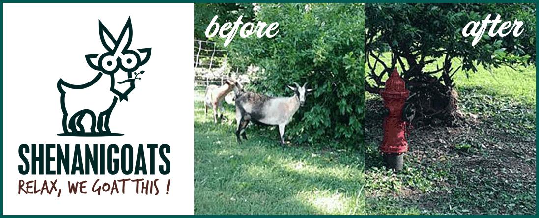 Shenanigoats Yoga Offers Goatscaping in Nashville, TN