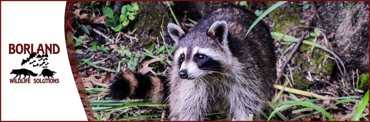 Borland Wildlife Solutions is a Wildlife Removal Company in