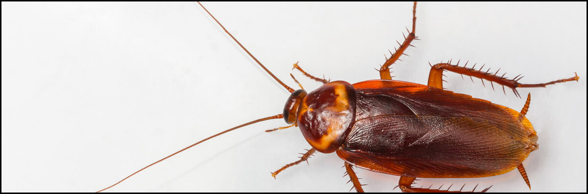 Stynger Pest Control Does Cockroach Control in Pharr, TX