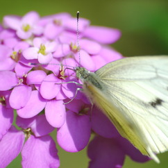 Cabbage white butterfly is expert at harvesting solar energy